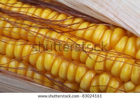 A fresh ear of ripe corn, close-up - stock photo