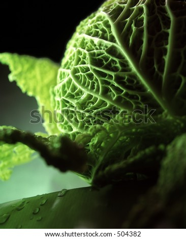 A fresh green cabbage with water drops on the leaf