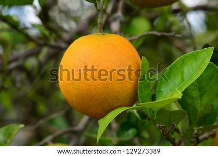 A fresh ripe valencia orange with leaves hangs on a tree in Florida.