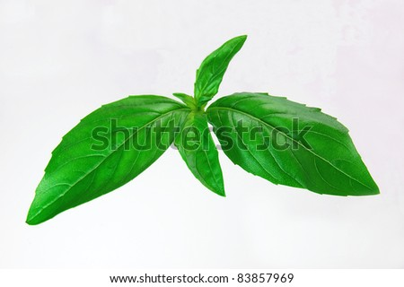A fresh sprig of basil on a white background