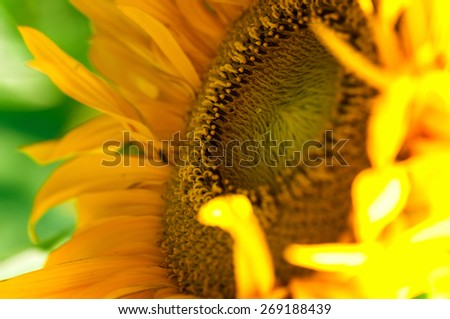 A Fresh Sunflower Macro - stock photo