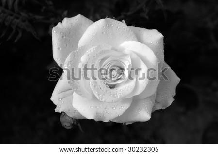 a fresh white rose from kitchen garden - stock photo