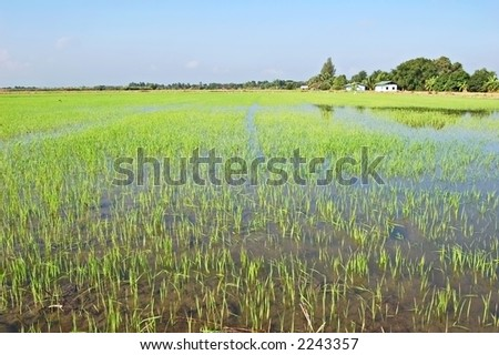A freshly transplanted paddy field in Thailand - stock photo