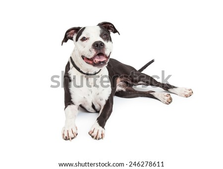 A friendly and obedient black and white Pit Bull breed dog laying down - stock photo