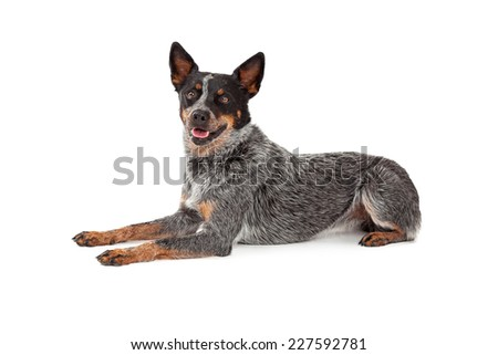 A friendly Australian Cattle Dog laying while looking forward.  - stock photo
