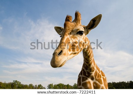 a friendly giraffe peers down - stock photo