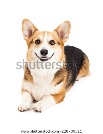 A friendly looking Pembroke Welsh Corgi Dog laying while looking directly into the camera. - stock photo