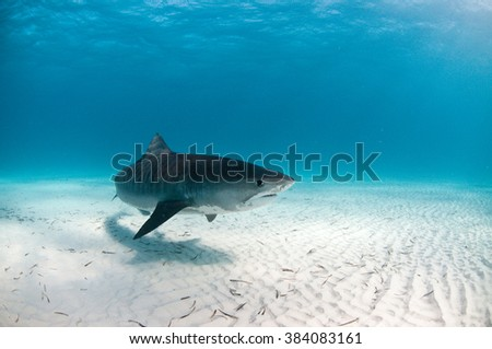 A friendly tiger shark swimming by with an inquisitive look - stock photo