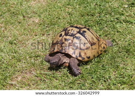 A Friendly Tortoise Out For a Walk in the Sunshine. - stock photo