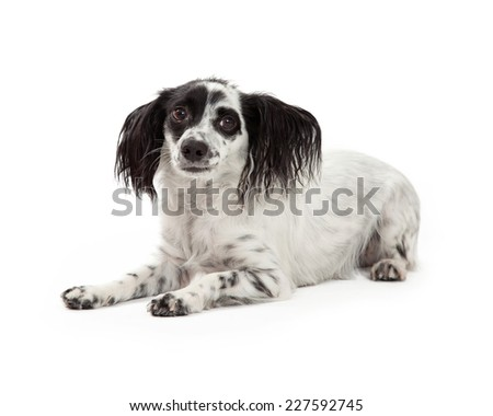 A frightened looking Papillon Mixed Breed Dog. - stock photo