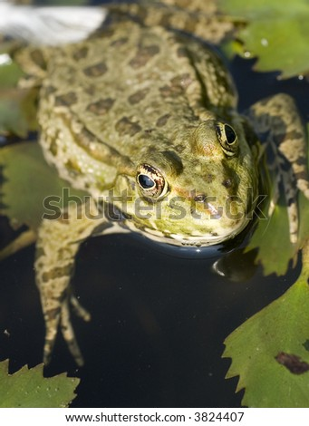 A frog floating and looking at the camera - stock photo