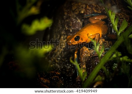 A frog hiding under the leaves of the lotus in the pond.