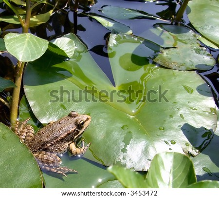 a frog on a lotus leaf_1