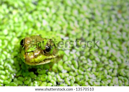 A frogs head sticking out of a pond with green plants