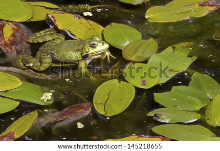 a frogs in a pond enjoying full of green leaves - stock photo