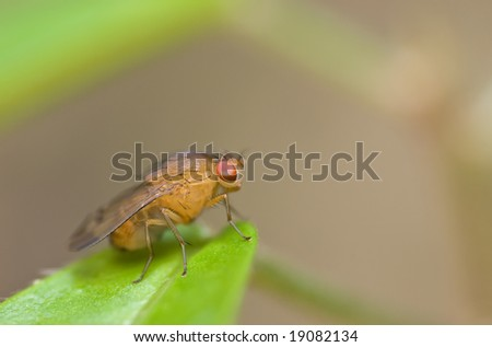 A fruit fly on leaf - stock photo