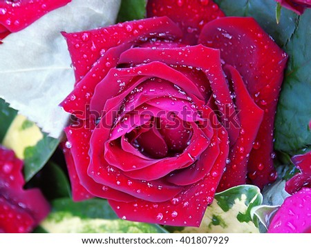 A full-blown bud of pink rose with dew drops closeup - stock photo
