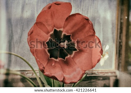 a full-blown tulip, close-up, effect wet plate - stock photo