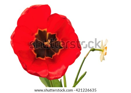 a full-blown tulip, close-up on isolated background - stock photo