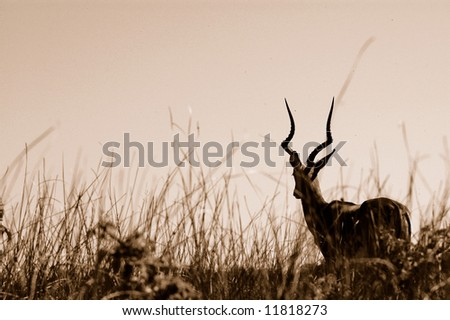 A full body of a beautiful African Impala ram antelope with big horns watching other wildlife while standing in the savanna of a game park in South Africa. Photograph in sepia. - stock photo