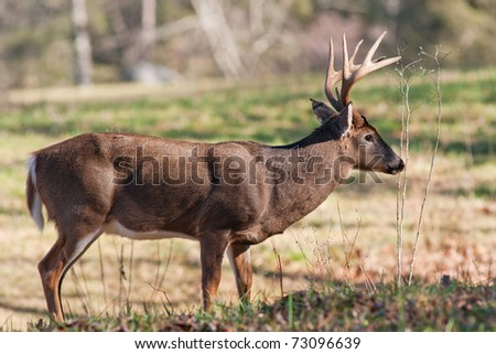 a full body profile of a whitetail buck - stock photo