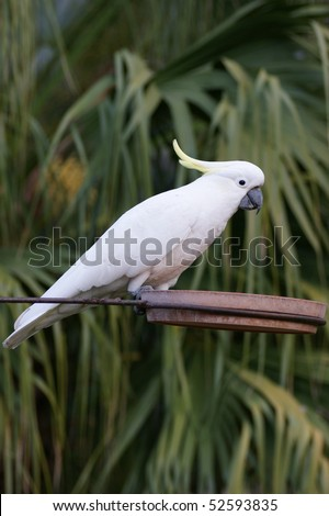 A full body shot of an Australian Sulphur Crested Cockatoo perched - stock photo