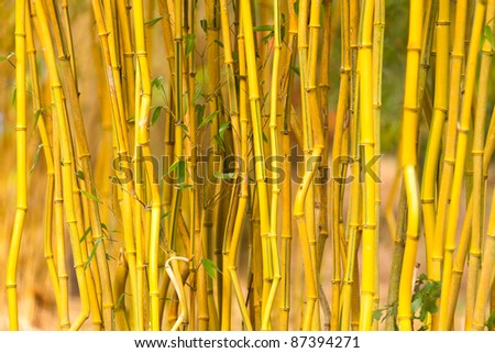 A full frame background image of some live bamboo stalks.
