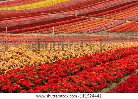 A full-frame image of a cultivated flower field, near Salinas, California. - stock photo