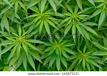 A full frame of marijuana foliage, background wallpaper - stock photo