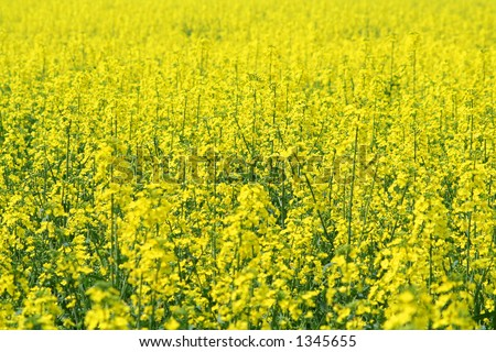 A full frame photo of a field of rapeseed in bloom, the focus on the centre ground. - stock photo