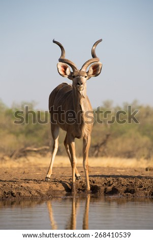 A full length, vertical colour photograph of a kudu bull at a waterhole staring into the camera - stock photo