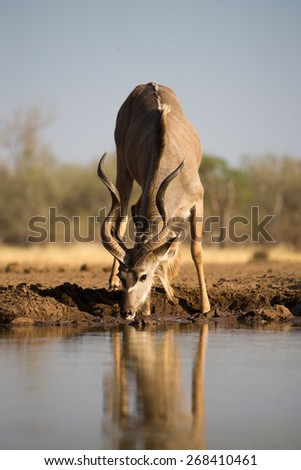 A full length, vertical photo of a kudu bull drinking at a waterhole. - stock photo