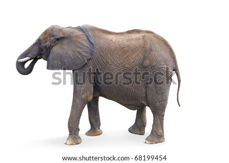 A full shot of an elephant isolated on a white background - stock photo