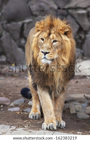 A full-size portrait of a young Asian lion. Vertical image. The King of beasts with splendid mane. Wild beauty of the biggest cat. The most dangerous and mighty predator of the world. - stock photo