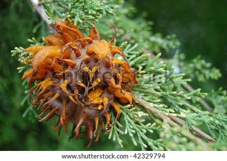 A fully sprouted cedar apple rust fungus on a cedar tree - stock photo