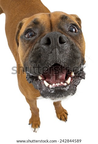 A funny Boxer breed dog with a big head and smile looking up with a happy expression - stock photo