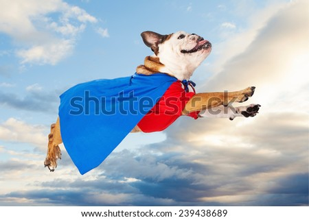A funny Bulldog dressed as a super hero in a red shirt and blue cape flying through the sky  - stock photo