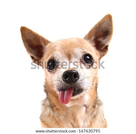 a funny chihuahua face - stock photo
