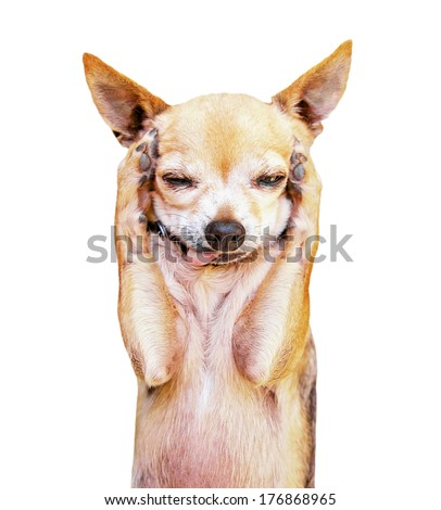 a funny chihuahua face - stock photo
