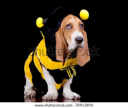 A funny image of a Basset Hound in a bumble bee costume.