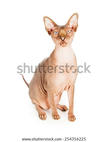 A funny looking hairless Sphynx breed cat sitting and looking at the camera with tongue sticking out - stock photo