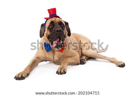A funny photo of a large English Mastiff dog wearing a festive Independence Day themed red and blue hat and bow tie while laying against a white backdrop - stock photo