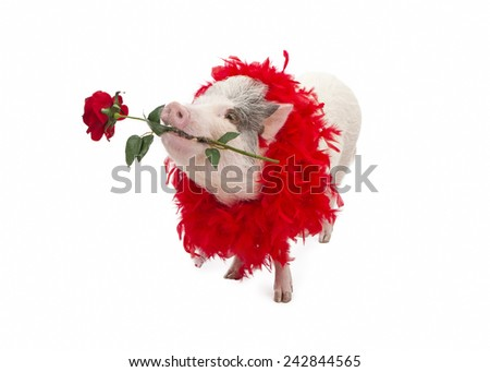 A funny pot-bellied pig wearing a red feather boa while holding a red rose in his mouth - stock photo