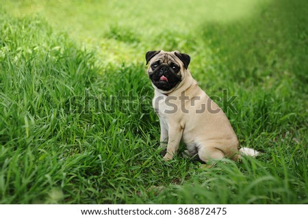 A funny pug sitting on the green grass background