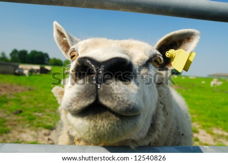 a funny sheep with its head in the Camera - stock photo