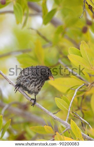 A Galapagos finch in mangrove trees on Tortuga bay