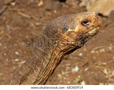 A Galapagos Giant Tortoise (Chelonoidis nigra) in the Galapagos Islands (the famed male tortoise, Diego) - stock photo