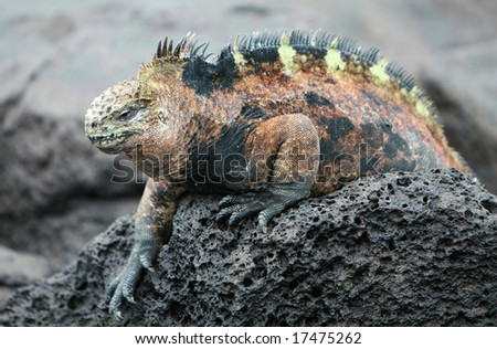 A Galapagos Marine Iguana perched on the volcanic rocks