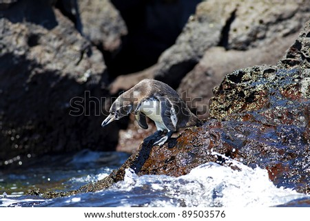 A Galapagos Penguin - stock photo