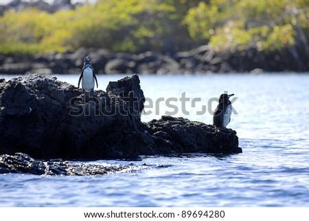 A Galapagos Penguin looking around at Isabela - stock photo